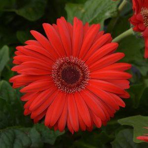 Gerbera Colorbloom Red with Dark Eye