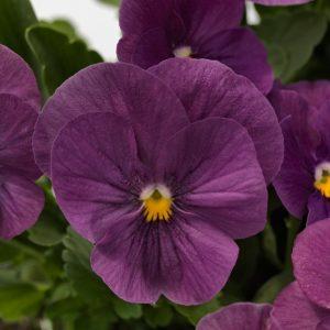 Viola Admire Violet